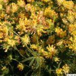 Úročník bolhoj, Anthyllis vulneraria, rostlina, květenství