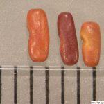 Čičorka pestrá, Securigera varia, semeno, lusk