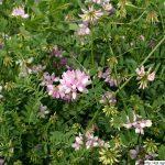 Čičorka pestrá, Securigera varia, rostlina, květenství