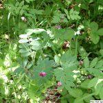 Hrachor černý, Lathyrus niger, rostlina, květenství