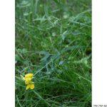 Hrachor luční, Lathyrus pratensis, rostlina, květenství