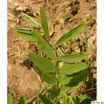 Jestřabina lékařská, Galega officinalis, rostlina, květenství