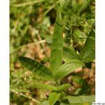 Jetel alpínský, Trifolium alpestre, rostlina, květenství