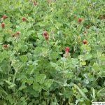 Jetel inkarnát, Trifolium incarnatum, rostlina, květenství