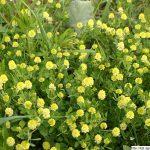 Jetel ladní, Trifolium campestre, rostlina, květenství
