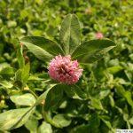 Jetel luční, Trifolium pratense, rostlina, květenství
