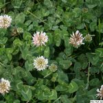 Jetel plazivý, Trifolium repens, rostlina, květenství
