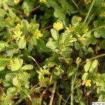 Jetel pochybný, Trifolium dubium, rostlina, květenství