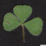 Jetel podzemní, Trifolium subterraneum, rostlina, květenství