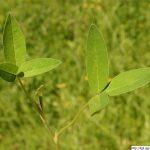 Jetel prostřední, Trifolium medium, rostlina, květenství