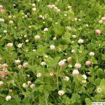 Jetel zvrhlý, Trifolium hybridum, rostlina, květenství