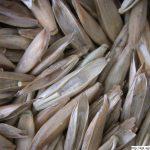 Kostřava luční, Festuca pratensis, obilka, semeno