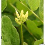 Kozinec sladkolistý, Astragalus glycyphyllos, rostlina, květenství