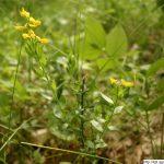 Kručinka německá, Genista germanica, rostlina, květenství