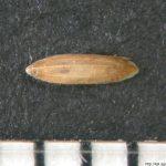 Lipnice bahenní, Poa palustris, obilka, semeno