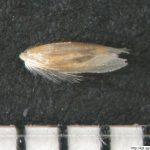 Metlice trsnatá, Deschampsia cespitosa, obilka, semeno
