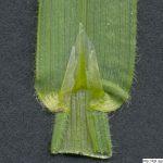 Ovsíř pýřitý, Avenula pubescens, rostlina, květenství