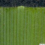 Ovsík vyvýšený, Arrhenatherum elatius, rostlina, květenství