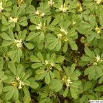 Pískavice řecké seno, Trigonella foenum-graecum, rostlina, květenství