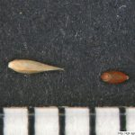 Psineček obecný, Agrostis capillaris, obilka, semeno