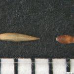 Psineček veliký, Agrostis gigantea, obilka, semeno