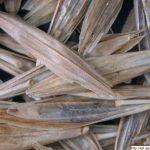 Sveřep bezbranný, Bromus inermis, obilka, semeno