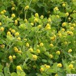 Tolice dětelová, Medicago lupulina, rostlina, květenství