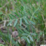 Vikev úzkolistá, Vicia angustifolia, rostlina, květenství