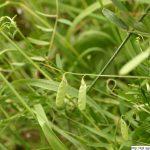 Vikev čtyřsemenná, Vicia tetrasperma, rostlina, květenství