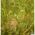 Vikev chlupatá, Vicia hirsuta, rostlina, květenství