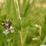 Vikev plotní, Vicia sepium, rostlina, květenství