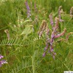 Vikev ptačí, Vicia cracca, rostlina, květenství