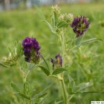 Vojtěška setá, Medicago sativa, rostlina, květenství